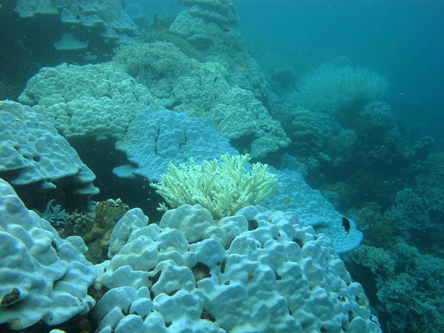 ปะการังโต๊ะแบบพุ่ม