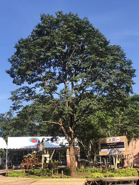 """ต้นประดู่ป่าทรงปลูก """"ต้นไม้ต้นที่ 100 ล้าน"""