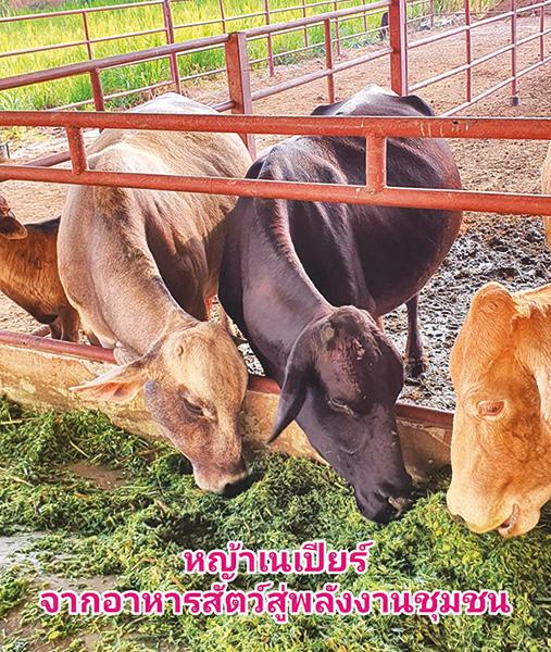 หญ้าเนเปียร์ จากอาหารสัตว์สู่พลังงานชุมชน